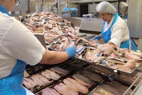 In der Fischfabrik von Larsen Danish Seafood GmbH in Harrislee werden halbierte Makrelen für das Räuchern vorbereitet